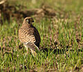 Falco tinnunculus, Israel 1.jpg