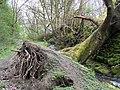 Fallen Tree near Coumes Brook, Oughtibridge - geograph.org.uk - 816766.jpg