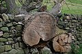 Fallen tree by Thrope Farm - geograph.org.uk - 542172.jpg