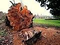 Fallen tree in the cemetery twixt Old Deer and Stuartfield - geograph.org.uk - 339137.jpg