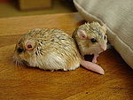 Fattailedgerbils11-PeterMaas.jpg