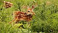 Fawn on the River Trail (7414410182).jpg