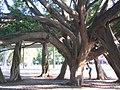 Feigenbäume Ibirapurera.jpg