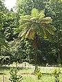 Fern tree in Mata Jardim José do Canto 7.jpg