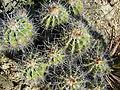 Ferocactus flavovirens (5753701161).jpg