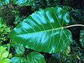 Ficus arnottiana 15.JPG