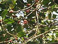 Ficus benghalensis leaves and fruits at Peravoor (2).jpg