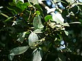 Ficus microcarpa P1130327 01.jpg