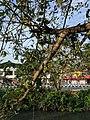Ficus racemosa 012.jpg