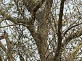 Ficus virens (3300753694).jpg
