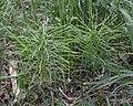 Field Horsetail (Equisetum arvense) - Guelph, Ontario 2020-05-27.jpg