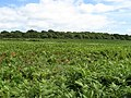 Field of Bracken, Ditchling Common - geograph.org.uk - 1446457.jpg