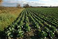 Field of cabbages, Wyre Piddle - geograph.org.uk - 1061035.jpg