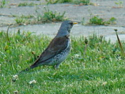 definition of fieldfare