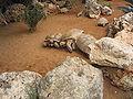 Fighting turtles, in Ramat-Gan Safari-Zoo, Israel.jpg