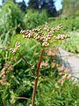 Filipendula vulgaris 2017-05-23 0426.jpg