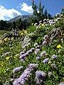 Fiori viola e montagna.jpg