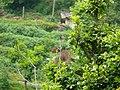 Fire-breasted Flowerpecker - Dicaeum ignipectus - P1040535.jpg
