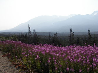 Fireweed on the Klondike Highway, British Columbia 10.jpg