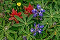 First day of the summer in the Alpine flowers of Sun Peaks...Common Red Paintbrush (Castilleja miniata) and Arctic lupine (Lupinus arcticus)... (28191554232).jpg