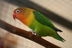 Fischer's Lovebird, (Agapornis fischeri); side view of pet IMG 2309.jpg