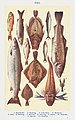 Fish I- Red Mullet, Grayling, John Dory, Mackerel, Cod, Whiting, Salmon, Herring, Plaice, Flounder, Gurnet, and Crayfish from Mrs. Beeton& -39;s Book of Household Management. Digitally enhanced from our own 1923 edition.jpg