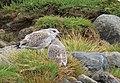 Fiskmås Common Gull (14982982272).jpg