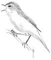Fitis Phylloscopus trochilus Jos Zwarts 4.tif