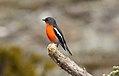 Flame Robin (Petroica phoenicea) (31418982835).jpg