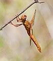 Flame Skimmer (Libellula saturata), female (5801238083).jpg