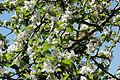 Fleur de pommier 03.jpg