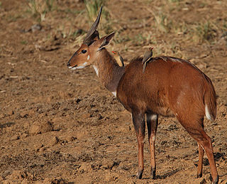 Cape bushbuck species of mammal