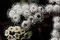 Flora Anamudi shola Kerala IMG 2249.jpg