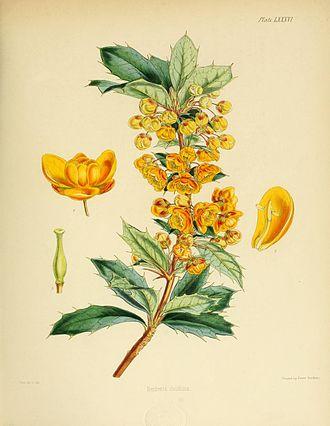 Berberis ilicifolia - Image: Flora Antarctica Plate LXXXVI