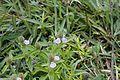 Flora of Yercaud 9921.jpg