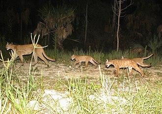 Florida panther - A mother Florida panther with three cubs
