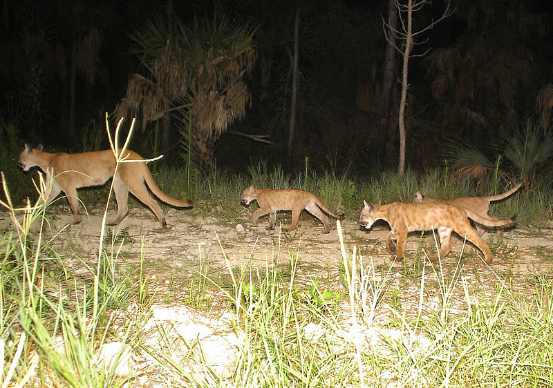 By U.S. Fish and Wildlife Service Southeast Region (Florida panther family  Uploaded by AlbertHerring) [CC BY 2.0 (http://creativecommons.org/licenses/by/2.0)], via Wikimedia Commons