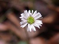 Flower Sheldon Forest Sydney Australia possibly Lagenophora gracilis.JPG