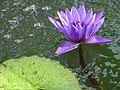 Flower in Pond - Botanic Gardens - Sapporo - Hokkaido - Japan (47984471948).jpg