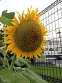 Flower of Helianthus annuus 20160723.jpg