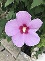 Flower of Hibiscus syriacus 20180911.jpg