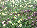 Flowering meadows of Daisetsu-zan.jpg