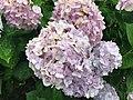Flowers of Hydrangea macrophylla 20200618-2.jpg
