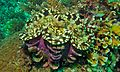 Fluted Giant Clam (Tridacna squamosa) (6085826586).jpg