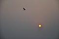 Flying Egret & Equinox Sun - Kolkata 2012-03-20 9327.JPG