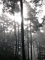 Foggy forest - panoramio.jpg
