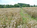 Footpath across a wheatfield - geograph.org.uk - 1449936.jpg