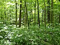 Forest by the Campsite 1 - panoramio.jpg