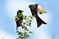 Fork-tailed Drongo, Dicrurus adsimilis, at Marakele National Park, Limpopo, South Africa (31836921477).jpg
