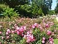 Forst-Rosengarten - Hauptpromenade (Rose Garden - Main Promenade) - geo.hlipp.de - 38955.jpg